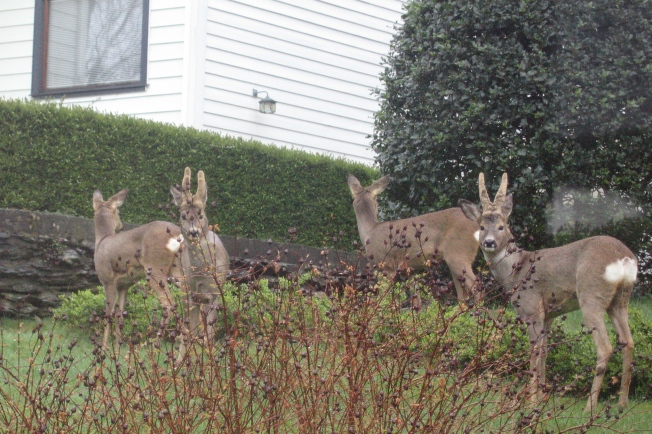 Deer in yard
